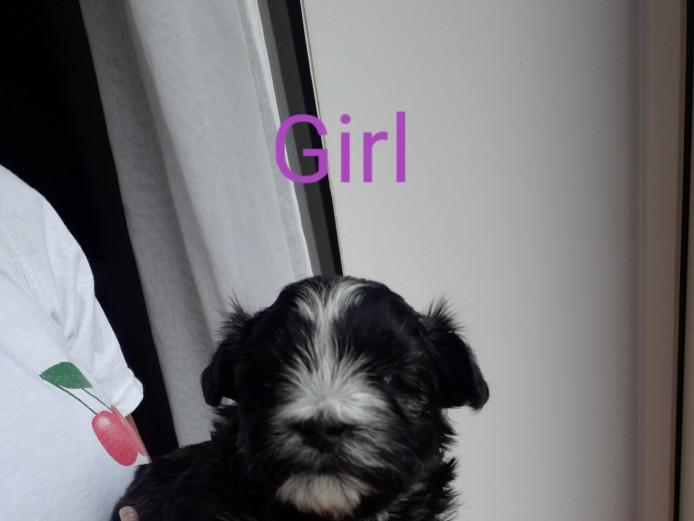Stunning Westie/Maltese pups