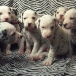 Beautiful Healthy Dalmatians - Baer Hearing Tested