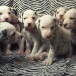 Beautiful Healthy Dalmatians - Baer Hearing Tested