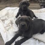 Blue cane corso pups for sale ( Italian bullmastiff )
