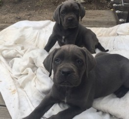 Pets  - Blue cane corso pups for sale ( Italian bullmastiff )