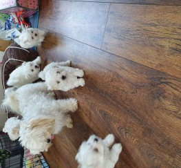 Pets  - Maltese puppies