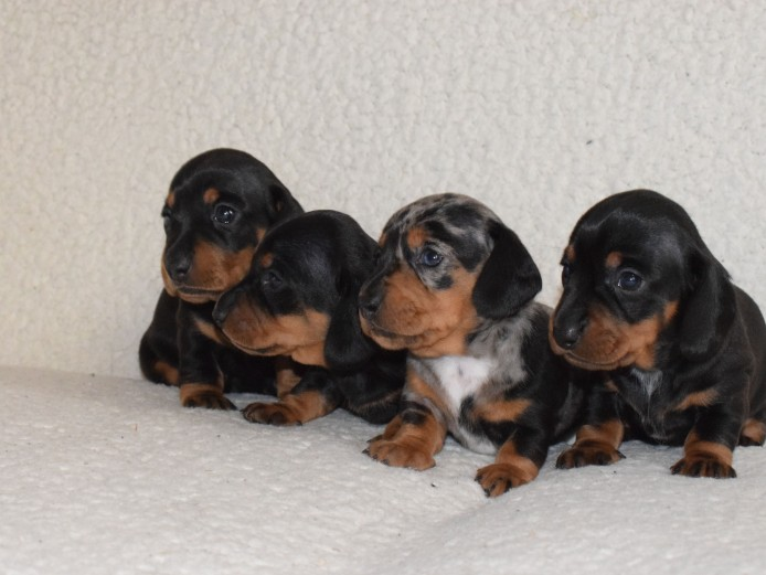 Gorgeous mini Dachshund puppies ready for reservation!