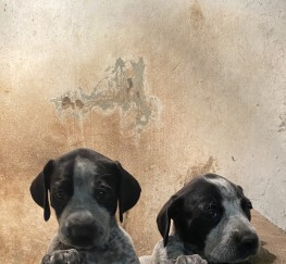 Pets  - German wirehaired pointer x lurchers