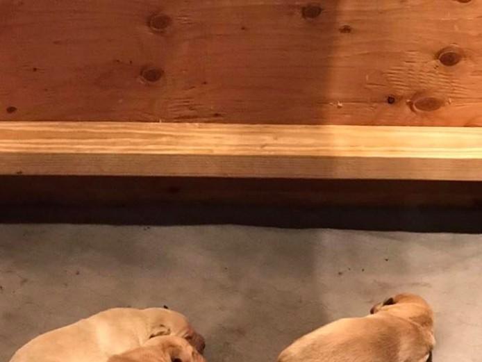 Quality Kc registered Labrador puppies