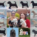 Beautiful black/silver (4 boys) KC registered standard poodles looking for their homes!