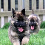cute German Shepherds puppies