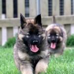 cute German Shepherds puppies