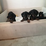 ready dachshund puppies available