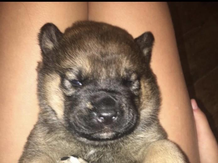 Stunning American Akita x Rottweiler puppies