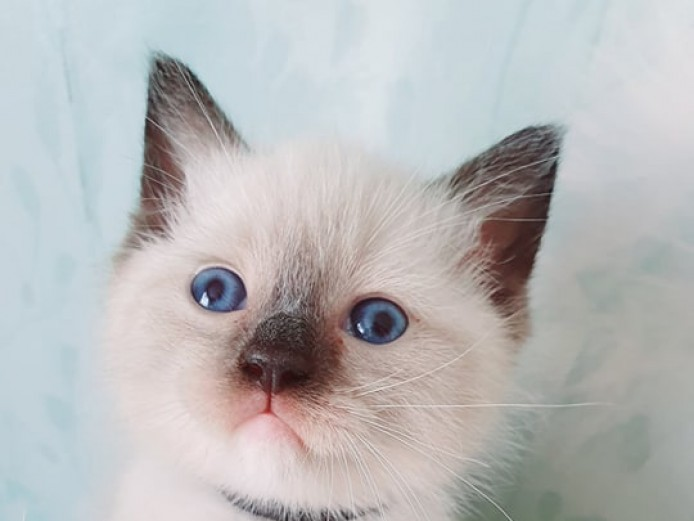 Beautiful Snowshoe boy RESERVED