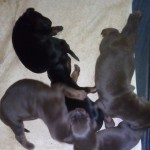 stunning debermann pups for sale