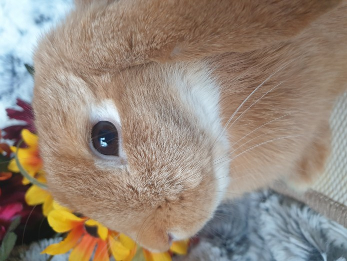 Beautiful  choc orange doe mini lop