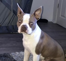 Pets  - (STUD) Lilac Boston