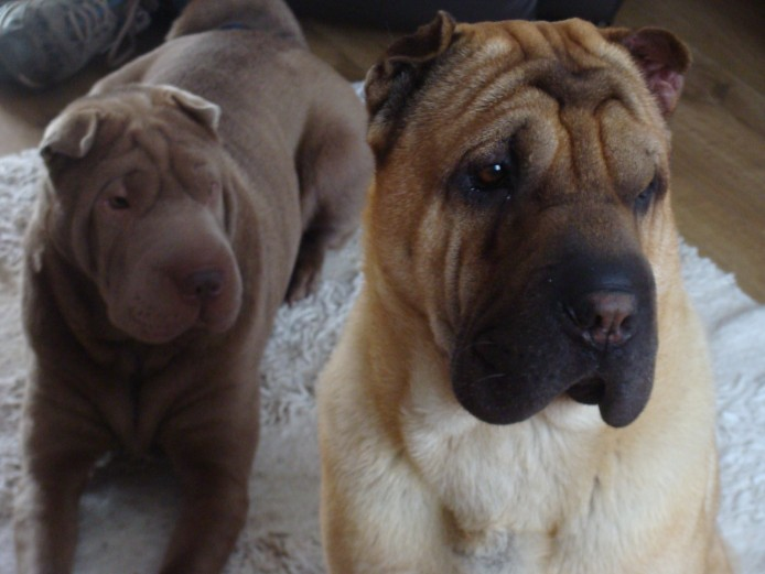 We have shar-pei pups for sale 2 still available