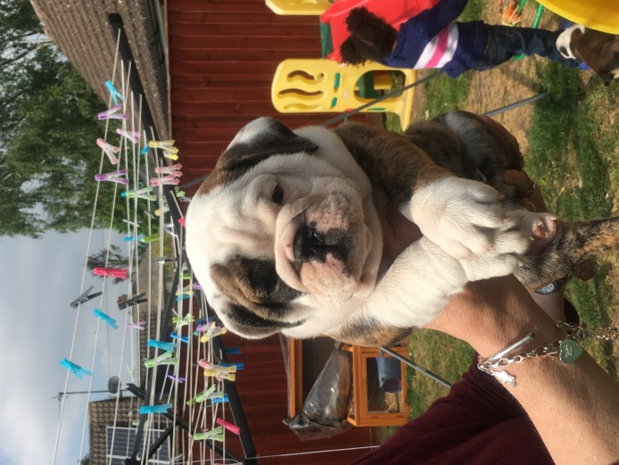 KC registered beautiful English Bulldogs ready now