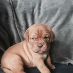 Stunning kc dogue de Bordeaux