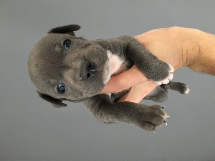 Blue staff puppys kc reg show quality