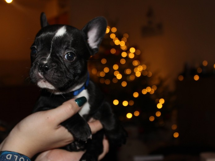 6 Adorable French Bulldog Puppies Available Now