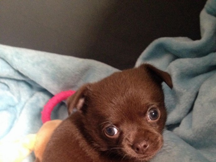 Chocolate Male Chihuahua