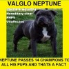 Pets  - Valglo Neptune The No1 Blue Valglo Stud In Europe
