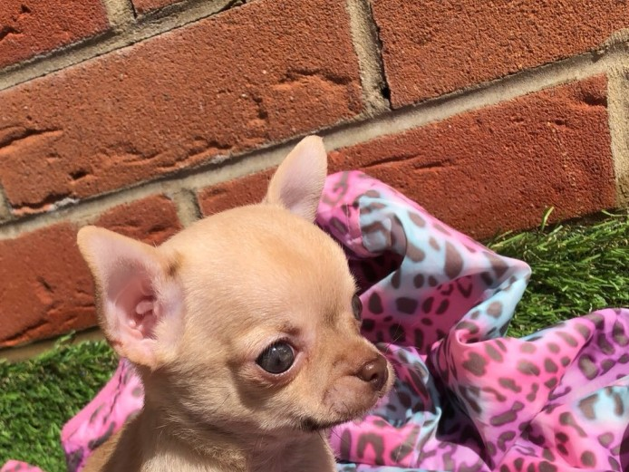 READY NOW- stunning quality chihuahua pups