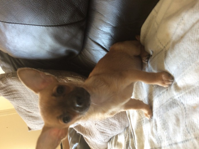 3 Beauiful chi pups looking for loving homes
