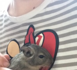 Beautiful loving Degus
