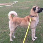 TURKISH KANGAL FEMALE