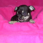 Pedigree small Chihuahua puppies