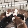 Pets  - Siberian husky puppies