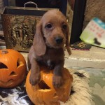 Bassetoodle Puppies