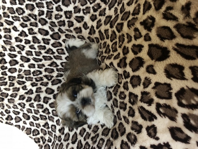KC REGISTERED SHIHTZU PUPS