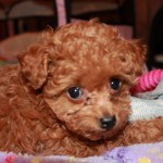 Gorgeous Toy Poodle Puppy