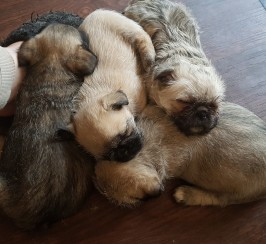 Pug cross Coton de Tulear fluffy puppies