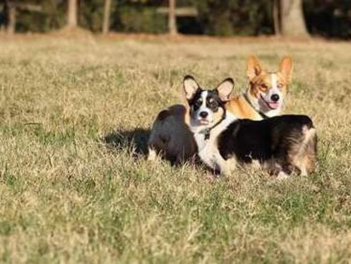 Top Quality Pembroke Welsh Corgi Puppies