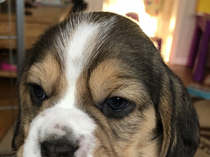 Beagle puppies KC registered