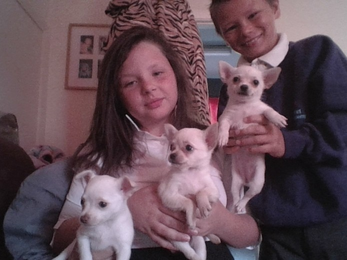 stunning toy chiuahuah puppies <3
