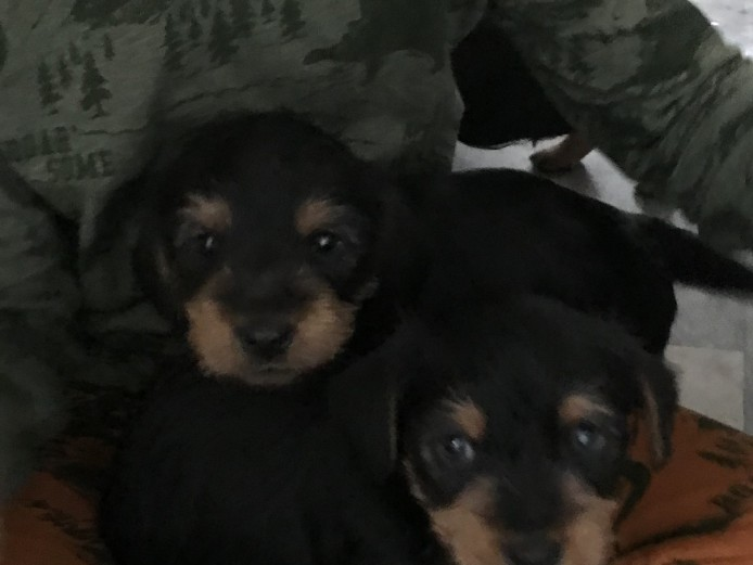 Dachshund x Yorkshire terrier puppies for sale