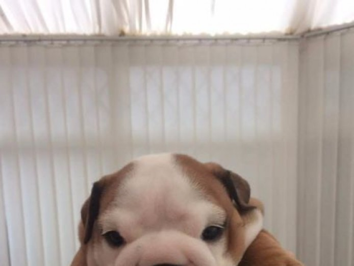 British Bulldog KC registered Puppies