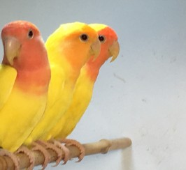 BEAUTIFUL YELLOW LOVEBIRDS FOR SALE