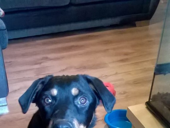 6month old rottweiler male for sale