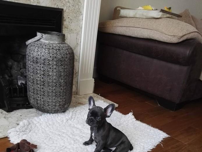 French bulldog puppy ready now