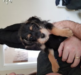 Pets  - Jackapoo puppy for sale