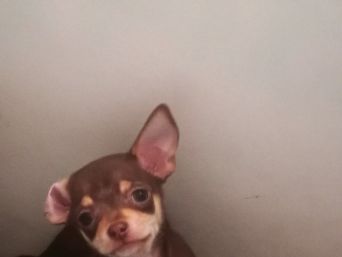 characterful chihuahua puppies for sale