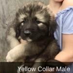 Caucasian Ovcharka Shepherd Puppies 8 weeks old