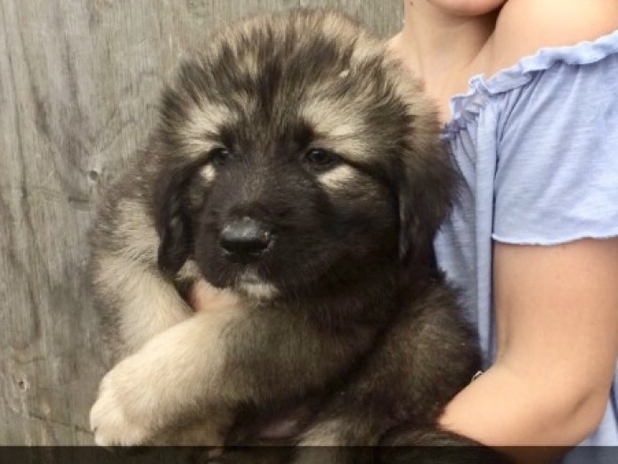 Caucasian Ovcharka Shepherd Puppies 8 weeks old