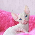 Sphynx & Bambino Kittens Available to Approved Homes