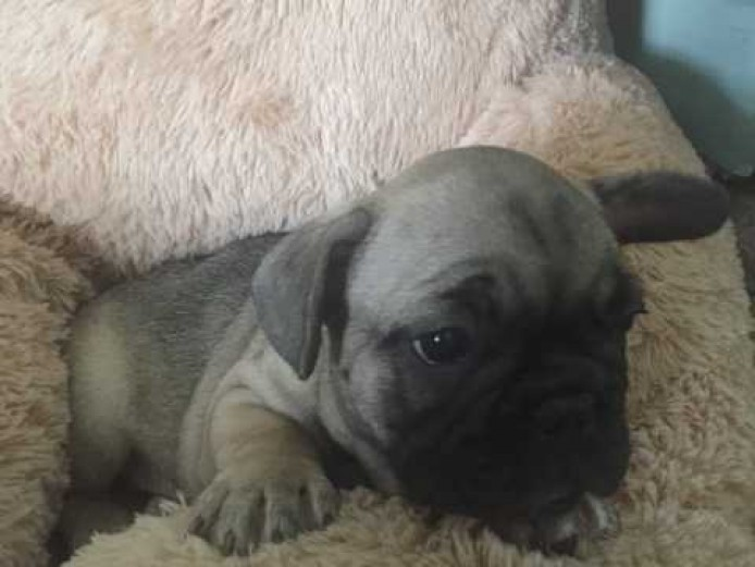 Ready Now blue and chocolate french bulldog puppies