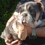 READY NOW!!! English bulldogs females